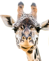 Shooting a portrait of this shy giraffe was difficult. It took a long time for him to swallow his pride.