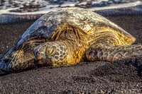 Hawaiian Napping Turtle