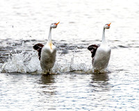 Those wild and crazy grebes and their walk-on-water mating dance.