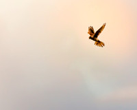 A Northern Harrier hovers over its prey.