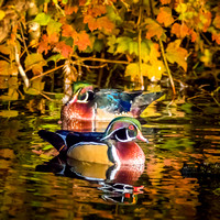 The amazing colors of Wood Ducks