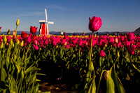 Tulip Festival in Woodburn